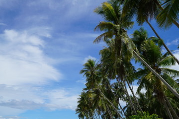 Coconut trees along Siquijor Island, Philippines