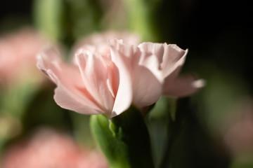 Obraz Goździk kwiat jasny róż makro płatek - fototapety do salonu