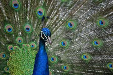 peacock display