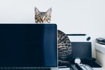 Young domestic cat distracting from work sitting behind the laptop