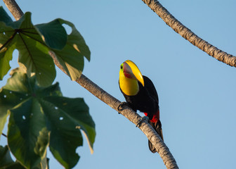 Clinging to a steep branch a Yellow-Throated Toucan moves it bill so it just catches the sunlight