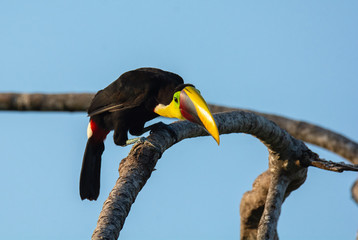 Peering around for food a Yellow-Throated Toucan perches on a bare tree branch