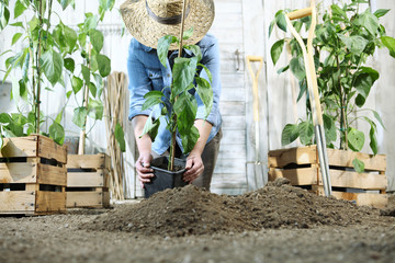 woman work in the vegetable garden with hands repot and planting a young plant on soil, take care for plant growth, healthy organic food produce concept