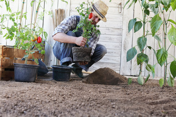 man plant out tomatoes from the pots into the soil of the vegetable garden, works to grow and produce more, image with copy space