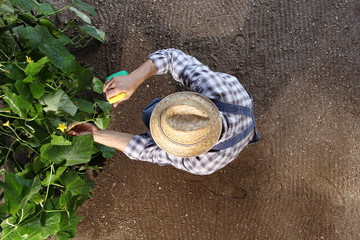 man farmer working in vegetable garden, pesticide sprays on plants, top view and copy space template