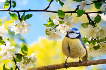 Printed roller blinds Bird spring natural background with little cute bird tit sitting in may garden on a branch of flowering Apple tree with white fragrant buds
