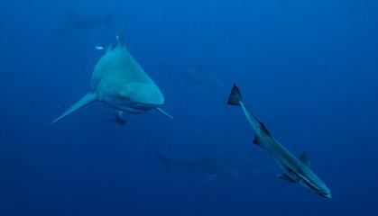 Bull Shark in Florida