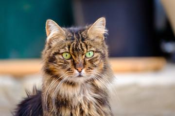 Chat tigré, gros plan, avec des yeux verts dans la rue.
