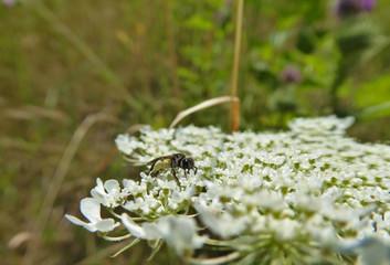 Insekt - Winzige Furchenbiene