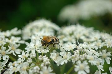 Insekt - Pinselkäfer