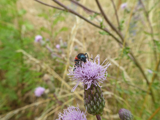 Insekt - Zottiger Bienenkäfer