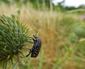 Insekt - Trauer-Rosenkäfer