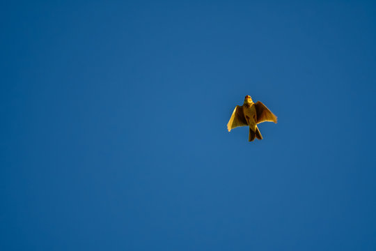 skylark flying in blue sky