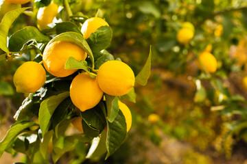 Bunch of fresh ripe lemons on a lemon tree branch in sunny garden.