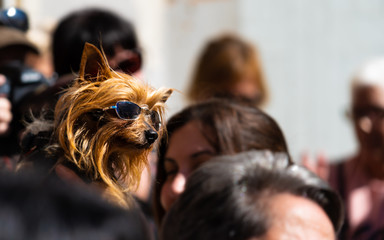 Yorkshire Terrier with sunglasses looking among people on the street