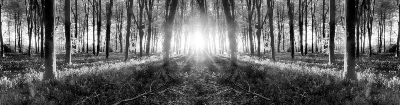Bluebell woods sunrise in spring black and white