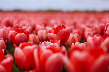 Beautiful field with red tulips in the Netherlands in spring. Blooming color tulip fields in a dutch landscape Holland