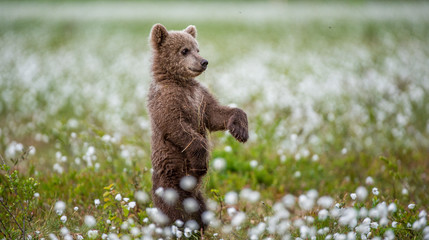 Brown bear cub playing on the field among white flowers. Bear Cub stands on its hind legs. Scientific name: Ursus arctos. Fototapete