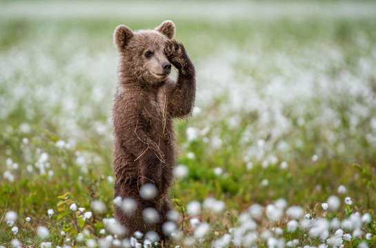 Brown bear cub playing on the field among white flowers. Bear Cub stands on its hind legs. Scientific name: Ursus arctos.