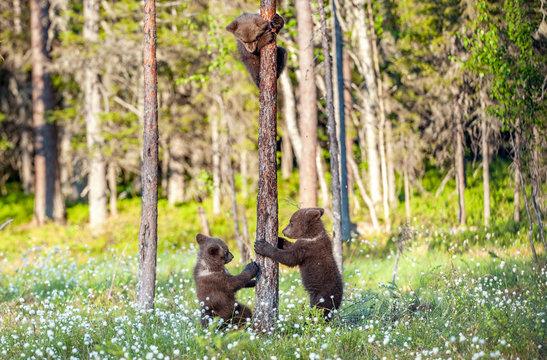 Cub of Brown bear climb on the tree.The bear cub climbing on the tree. (Ursus Arctos Arctos) Brown Bear.