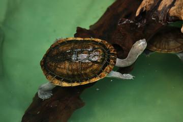 Roti Island snake-necked turtle (Chelodina mccordi) Wall mural