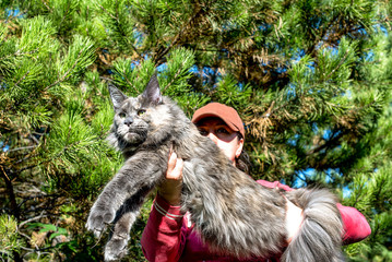 Very big blue maine coon cat in forest on summer spring day. Wall mural