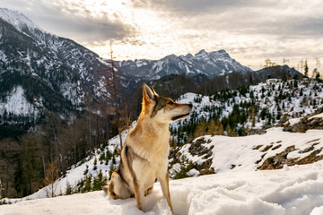 Wolfdog in the mountain