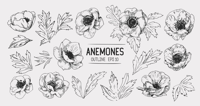 Sketch of anemone flowers. Hand drawn illustration converted to vector