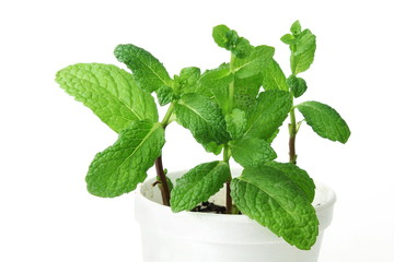 fresh  mint or mentha leaves herb plant growing in glass in white background
