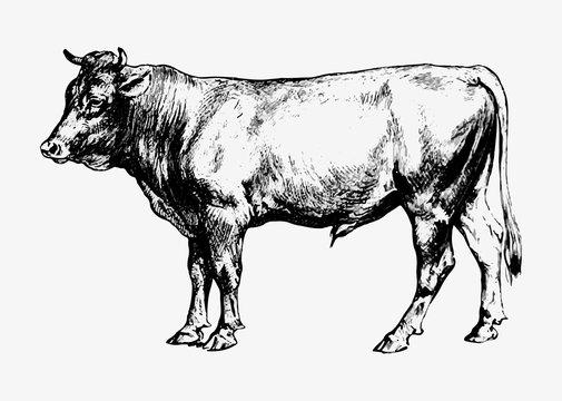 Bull vintage drawing