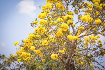 Silver trumpet tree / Gold paraguayan yellow flower tree