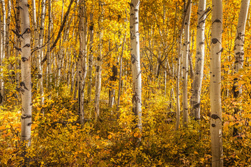 Woods in aqutumn in the American west