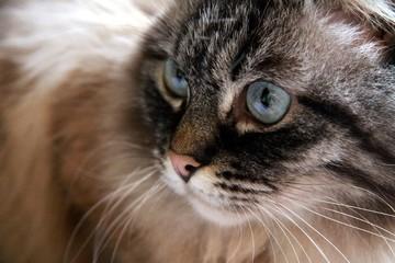 Cat portrait - Neva Masquerade blue eyes