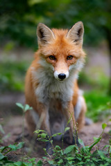 Wall Mural - Wild young red fox (vulpes vulpes) vixen scavenging in a forest
