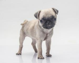 Cute pug dog on white background.