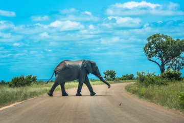 Elephant crossing the road, Kruger National Park, South Africa