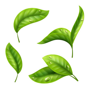 Realistic green tea leaves with drops isolated on white background. Illustration of tea green leaf, organic plant fresh