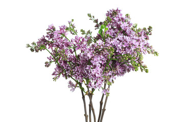 Lilac bouquet isolated on white background.