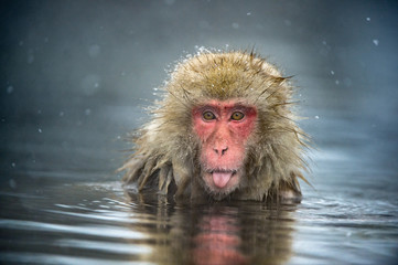 Foto op Aluminium Aap The Japanese macaque at Jigokudani hotsprings. Japanese macaque,Scientific name: Macaca fuscata, also known as the snow monkey.