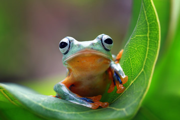 Wall Mural - Javan tree frog on leaves, flying frog on green leaves, tree frog on leaves