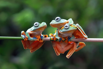 Javan tree frog on aitting on branch, flying frog on branch, tree frog on branch