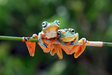 Wall Mural - Javan tree frog on aitting on branch, flying frog on branch, tree frog on branch