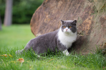 Cute British short-haired cat in park grass