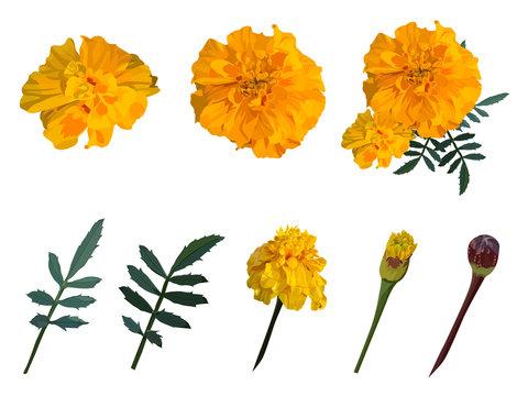 Yellow with orange flower marigold. Set. Vector illustration.