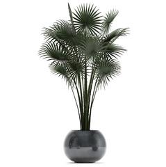 Palm in pot