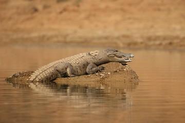 Mugger crocodile in the nature habitat, crocodile on the river sanctuary, Crocodylus palustris, marsh crocodile, indian wildlife.