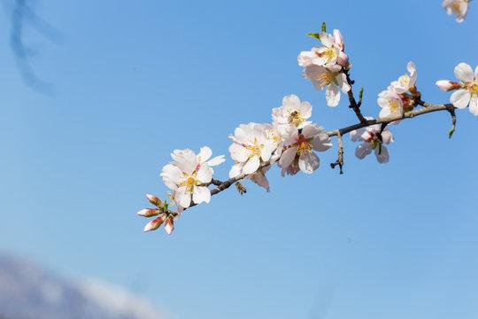 almond flowers blue  sky spring  season buds bees