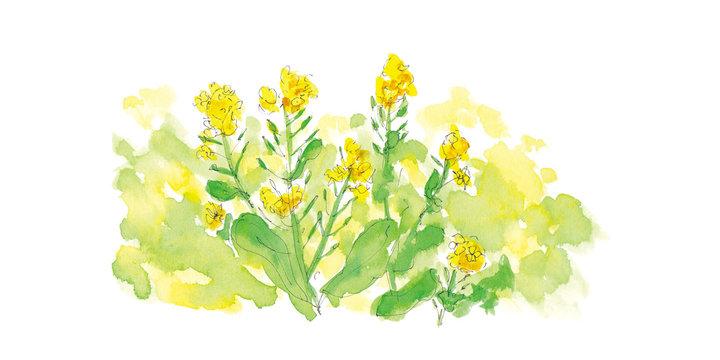 菜の花の水彩イラスト