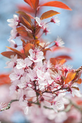 Kawazu cherry tree in full bloom - spring