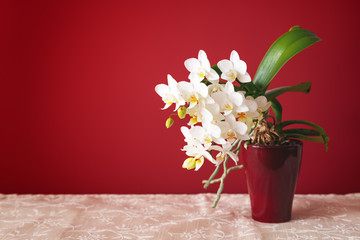 white small phalaenopsis orchid flower